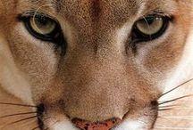 Animals - Wild cats