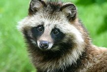 Tanuki/Kitsune / 狸と狐は、いろんな意味で日本に欠かせない動物だと思います。両者共、この国に長く住んでる動物ですしね。そして、狐ってホント整った顔立ちしてますよね。ワンコよりも何て言うかシュっとして凛としてる顔立ちだと思います。目が猫っぽいし。狸は、可愛い顔立ちですね。性格は、結構、荒いみたいですけどね。