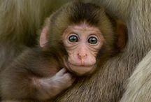 Nihon-Zaru / お猿さんって、ホント可愛いんだけど悪さするからな  奴らw でも 温泉猿は、やっぱ 可愛いわ〜w