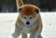"""秋田犬 """"Akita-Inu"""" / ハチ公の犬種です。秋田犬ですね。モッフモフだこと(//∇//) キュン死してしまいそうな可愛さです。柴とは又、違う可愛さですね。そして、成犬は かなりゴツいです。このブサカワ具合が、本当、ストライクです。主人に一途な頼れる相棒ですね。顔のパーツがセンターに寄ってます^ ^ 秋田、大好きなんですよねー♪"""