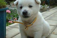 """紀州犬 """"Kishu-Inu"""" / 紀州は、やっぱり白い犬ってのが特徴ですが、有色の紀州も居るんです。どちらかというと紀州の特徴はしっぽです。巻尾じゃないんです。知らなかったですw"""