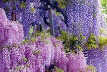 Season Purple Japan / 藤、ラベンダー、朝顔、桔梗、杜若、花菖蒲、あやめ、紫陽花など紫の色を付ける花達です。