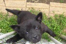 """甲斐犬 """"Kai-Ken"""" / 甲斐犬の赤ちゃんって熊の赤ちゃんに似ててめっちゃ可愛いのですが・・・。真っ黒な甲斐犬はとってもカッコ良いですね。"""