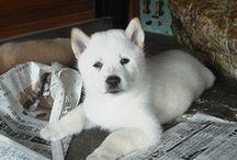 """北海道犬 """"Hokkaido-Inu"""" / ソフトバンクのお父さんは、この犬種です。仔犬、シロクマの赤ちゃんみたい( ̄∀ ̄)  紀州との違いは、北海道の方ががっしりした感じでしょうか? 尻尾は巻尾みたいですね♩ アイヌ犬とも言います。"""
