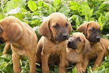"""土佐闘犬 """"Tosa-Touken"""" / 日本犬をベースにいろいろな犬を交配して誕生した犬種です。土佐犬と言った方がしっくり来るんではないかと思います。闘わせるだけの犬って 何か好きになれないんですが、それも一つの文化なんですよね・・・。"""