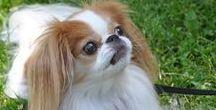 """狆 """"Chin"""" / 愛玩用にいろいろ、掛け合わされて誕生した犬種です。きっポメラニアンとか、スピッツあたりがベースなんでしょうね。可愛くて愛嬌のある顔してます。が、やっぱり 何か掛け合わせとかって今一、好きに なれない考え方なんですよね・・・。"""