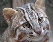 """対馬山猫 """"Tsushima-Yamaneko"""" / 対馬のみ生息している山猫です。"""