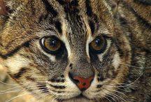 """西表山猫 """"Iriomote-Yamaneko"""" / 絶滅危惧種ですね、たしか。守って行かないとなりません。"""