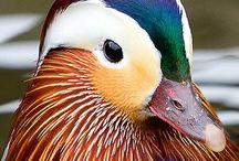 Oshidori/Mejiro / 日本的な美しい鳥ですね。ちなみに鶯と目白は別の鳥です。