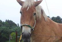 """和種馬 """"Zairai-Ba"""" / 道産子、木曽馬、御崎馬、対州馬、野間馬、吐噶喇馬、宮古馬、与那国馬が在来馬と呼ばれる日本固有の純血種です。寒立馬は、純血種では有りませんが、日本固有の馬ですね。"""