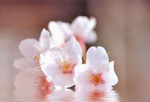 Flower Like Japan / 日本にしか咲かない花ってどれくらいあるんでしょ?結構な数だと思います。ボードは日本っぽいイメージの花です。