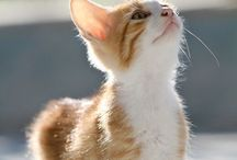 """日本猫 """"Japanese Bobtail"""" / 純血種とは呼べないみたいですが、日本固有の猫である事は、たしかなようです。猫は自由人だから純血統というのは難しいのでしょうね。"""