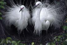 Shira-Sagi / 美しい鳥ですね。最近、めっきり見ないです。結構、間近で見てたんですけどね。子供の頃はw