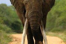 Animals - Elephants