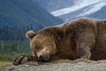 Animals - Bears
