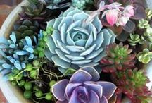 Cactus and Succulents / Cacti, Succulents, Agaves, Yuccas, Aloes and Related Plants - varieties, care, use, ideas and inspiration!