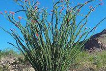 Desert Shrubs / Landscape shrubs that do well in Tucson.
