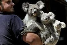 My Koala friend / any visiting celebrity gets the promotional photo op with a 'cuddly' Koala.