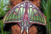 Caterpillars / Moths / Butterflies