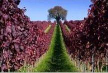 Dreaming of Vineyards...