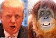 Orangutan Donald Trump
