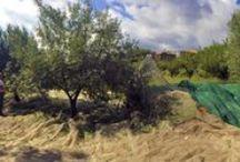 L'uliveto di Case Perrotta - Case Perrotta's Olive Tree Grove / Il cuore di un agriturismo è l'attività agricola. Produzione principale dell'azienda Case Perrotta è l'ottimo olio d'oliva biologico.