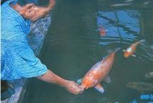 koi fish / This is a compilation of our available kois and other pinners Whom we like too.