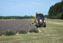 NZLavender: Harvest 2014 / Harvesting the first row of lavender January 2014.
