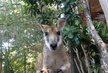 #AppletheWallaby / Have you spotted Apple? Pin your photos to our board if you have! A regular visitor to Thala's open-sided lobby, Apple the wallaby was so named by a young guest. She's nurturing a joey in her pouch which is becoming noticeably larger. Check back regularly to watch how things progress for this wild wallaby that is charming Thala's guests / by Thala Beach Nature Reserve