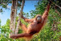 Borneo 2014 / Endangered Orangutans and visit to Borneo