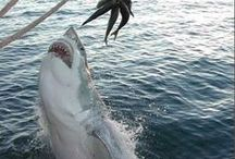 Shark bait ooo, ha, ha / by Val