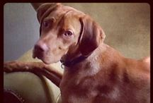 Puck, my Viszla / My vizsla Puck is adorable, runs like crazy and has a mind of her own. Ik love her.