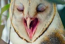 Tyto alba / Barn Owl, sova pálená, plamienka dremavá