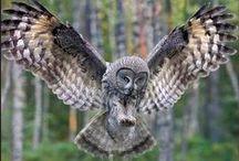 Strix nebulosa / Great Grey Owl, puštík vousatý, sova tmavá bradatá