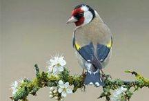 Carduelis carduelis / European Goldfinch, stehlík obecný, stehlík pestrý