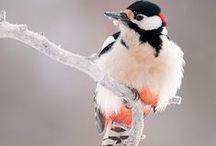 Picidae / Woodpeckers, datlovití, ďatľovité