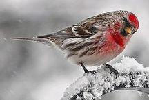 Carduelis flammea / Common Redpoll, čečetka zimní, stehlík čečetavý