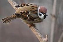 Passer montanus / Eurasian Tree Sparrow, vrabec polní, vrabec poľný