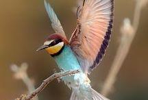 Merops Apiaster / European Bee-eater, vlha pestrá, včelárik zlatý