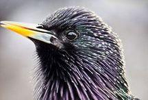 Sturnus vulgaris / Common Starling, špaček obecný, škorec lesklý/obyčajný