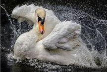 Cygnus olor / Mute Swan, labuť velká, labuť hrbozobá/veľká