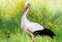 Ciconiidae / Storks, čápovití, bocianovité