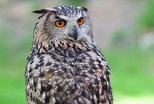Bubo bubo / Eurasian Eagle Owl, výr velký, výr skalný