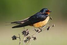 Hirundo rustica / Barn swallow, vlaštovka obecná, lastovička obyčajná