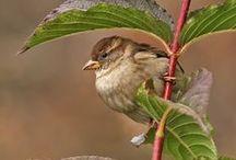 Passer domesticus / House sparrow, vrabec domácí, vrabec domový