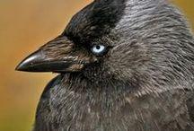 Corvidae / Crow family, krkavcovití, krkavcovité
