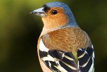 Fringilla coelebs / Common chaffinch, pěnkava obecná, pinka lesná