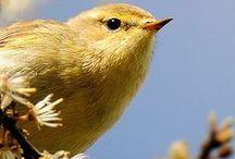 Sylvidae / Old World warblers, pěnicovití, penicovité
