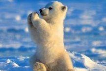 mikkelrev ,gaupe ,ulv.gjerv,bjørn