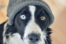 Border collie / by Allie The Dog Lover